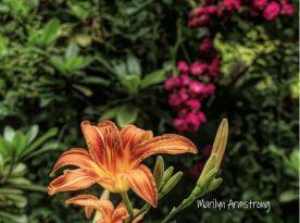 180-Lily-Final-June-Garden-290618_002