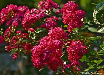 Thorny Roses