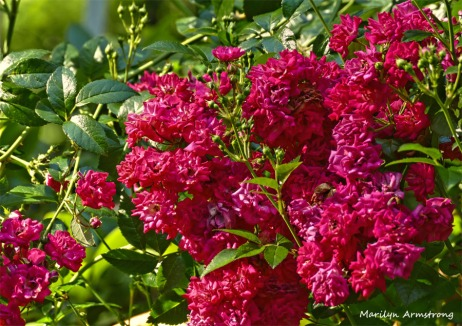 180-Roses-Fourth-July-040716_209