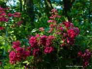 180-Roses-Wild-Garden-3-080716_026