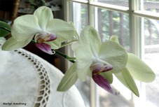 180-Serried-Four-Orchids- 07032018_002