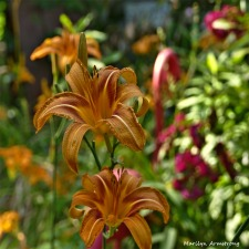 More day lilies