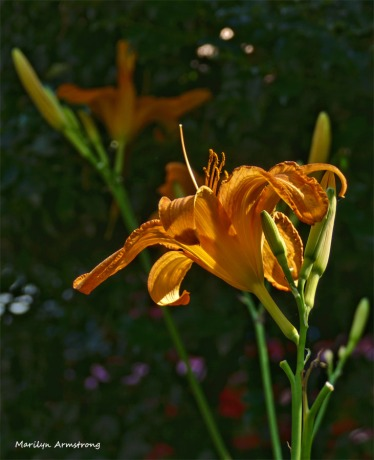 180-Vertical-Daylilies-Fourth-July-040716_108