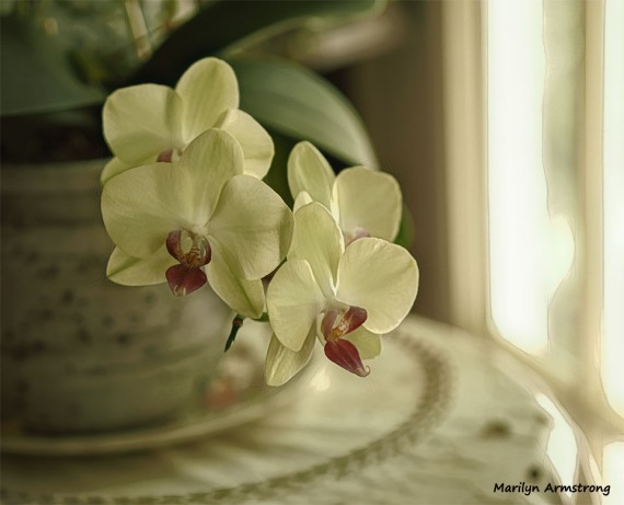 Softly lit orchids - Photo: Marilyn Armstrong