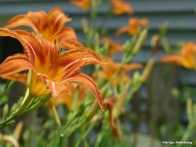 300-Lily-Close-Final-June-Garden-290618_017