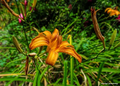 300-Lily-July-First-Garden-010716_011