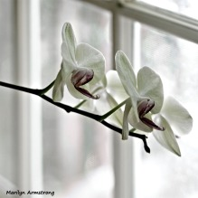 300-white-four-orchids-210718_009