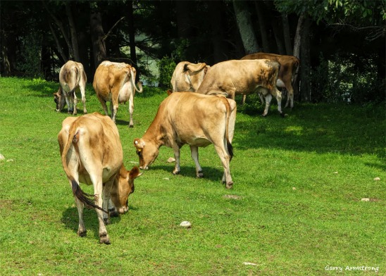 180-Cows-Farm-GAR-170818_109