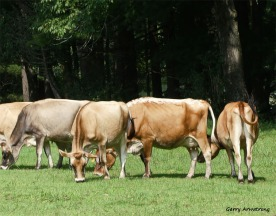 180-Cows-Farm-GAR-170818_115