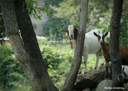 More goats!