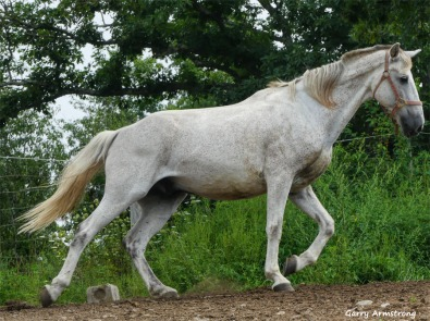 Oh his way, the white horse (Arabian?)