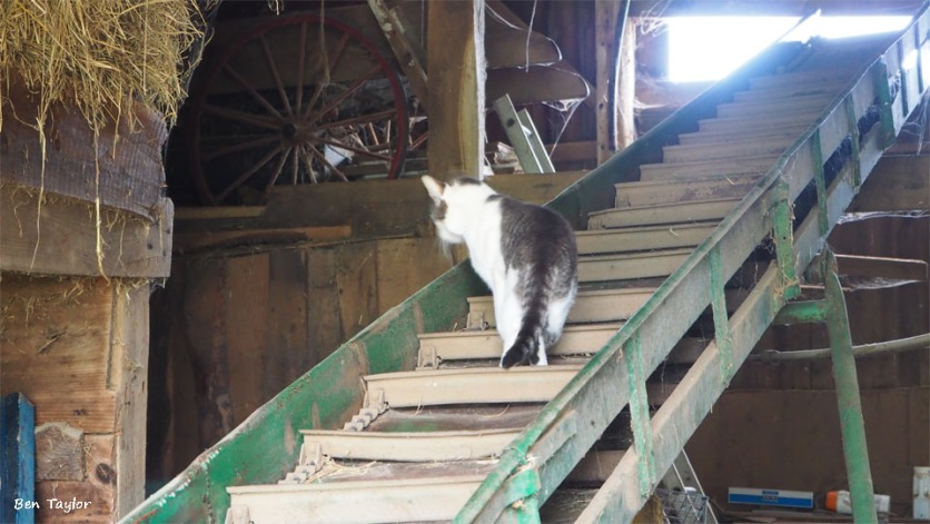 Cats all over the barn