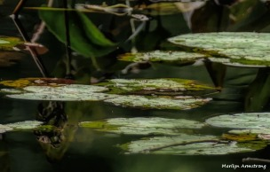 180-Lily-Pads-Reflection-Pond-Manchaug-MAR-22092018_118