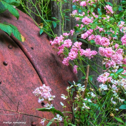 180-Square-Pink-Roses-07092018_054