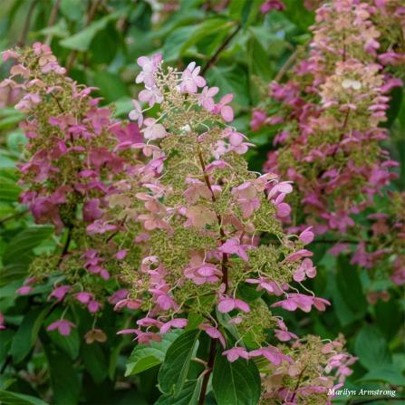 180-Square-Pink-Shrub-River-RI-MAR-29092018_0134