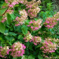 180-Square-Pink-Shrub-River-RI-MAR-29092018_0149