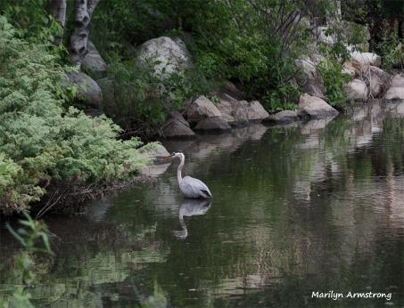 300-Contrast-Blackstone-River-Heron-Mar-090618_0046