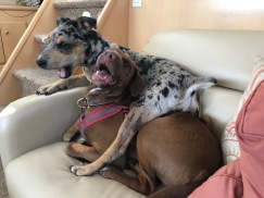 Remy and Houla playing, again, on sofa