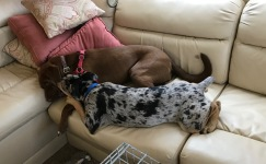 remy and Houla still playing on sofa