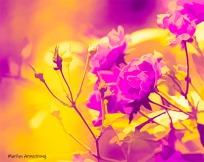 180-Ametrine-Last-Roses-24102018_302