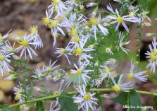 180-Asters-Home-Early-Oct-04102018_005