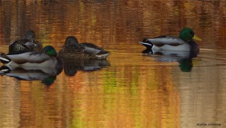 More golden ducks