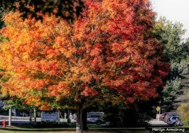 180-Huge-Maple-Tree-MAR-05102018_020
