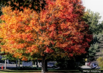 180-Huge-Maple-Tree-MAR-05102018_020