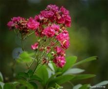 180-Late-Roses-MAR-10092018_1001