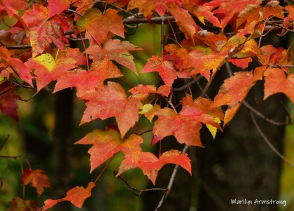180-Maple-Autumn-Day-24102018_308