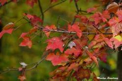 180-Maple-Autumn-Day-24102018_312