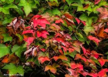 180-Maple-Foliage-MAR-09102018_003