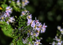 180-Purple-Asters-Canal-1000-Oct-MAR-05102018_003