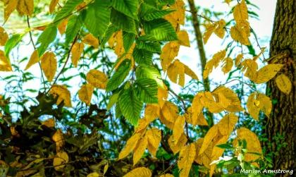 180-Pear Tree-Bright-Trees-MAR-05102018_007