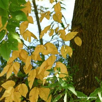 180-Yellow-Foliage-MAR-05102018_007