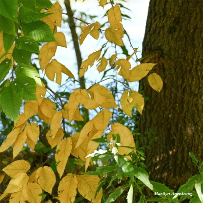 180-Yellow-Foliage-MAR-05102018_007
