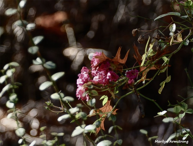 180-2-Leaves-and-Late-Roses-07112018_132