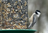 180-Chickadee-Even-More-birds-20181125_045