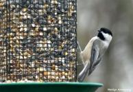 180-Chickadee-Even-More-birds-20181125_045