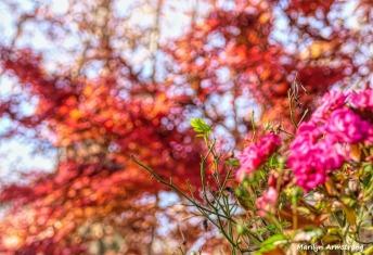 180-Classic-Roses-Jap-Maple-2-08112018_329