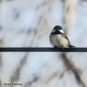180-Fat-Chickadee-More-Birds-2-20181123_218