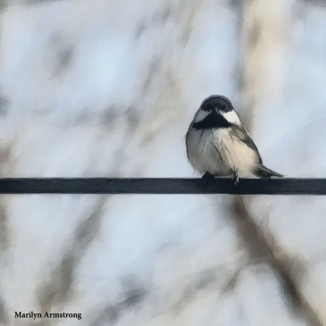 180-Fat-Chickadee-More-Birds-2-20181123_218