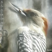 180-Impression-Red-Bellied-Woodpecker20181122_003