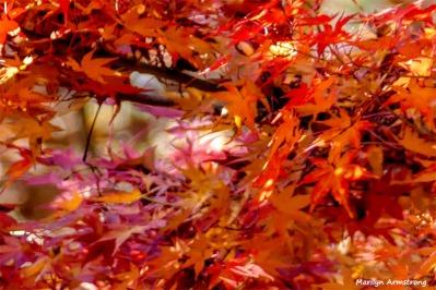 180-Jap-Maple-07112018_003