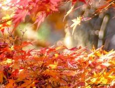 180-Jap-Maple-07112018_004