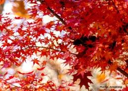 180-Jap-Maple-07112018_012