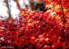 180-Jap-Maple-07112018_015