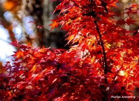 180-Jap-Maple-07112018_016