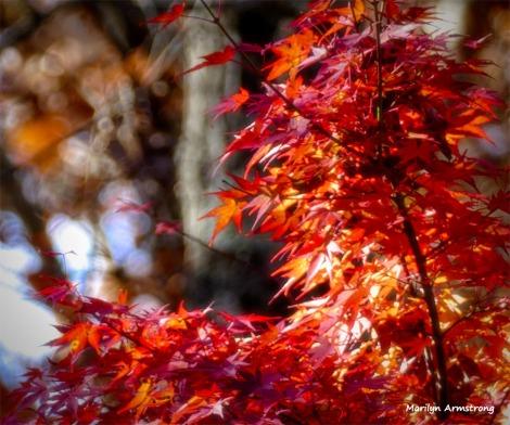 180-Jap-Maple-07112018_019
