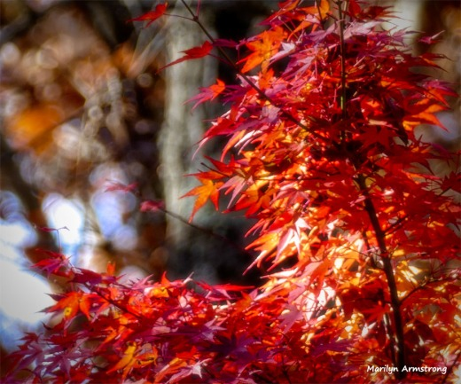 180-Jap-Maple-07112018_019